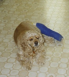 Our dog Tequila after knee surgery