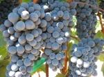 tour d organics grapes
