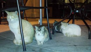 The 4 Starbucks cats