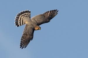 bird dive bombing