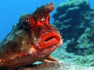 Rosy Lipped Batfish