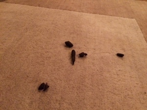 poop-on-carpet