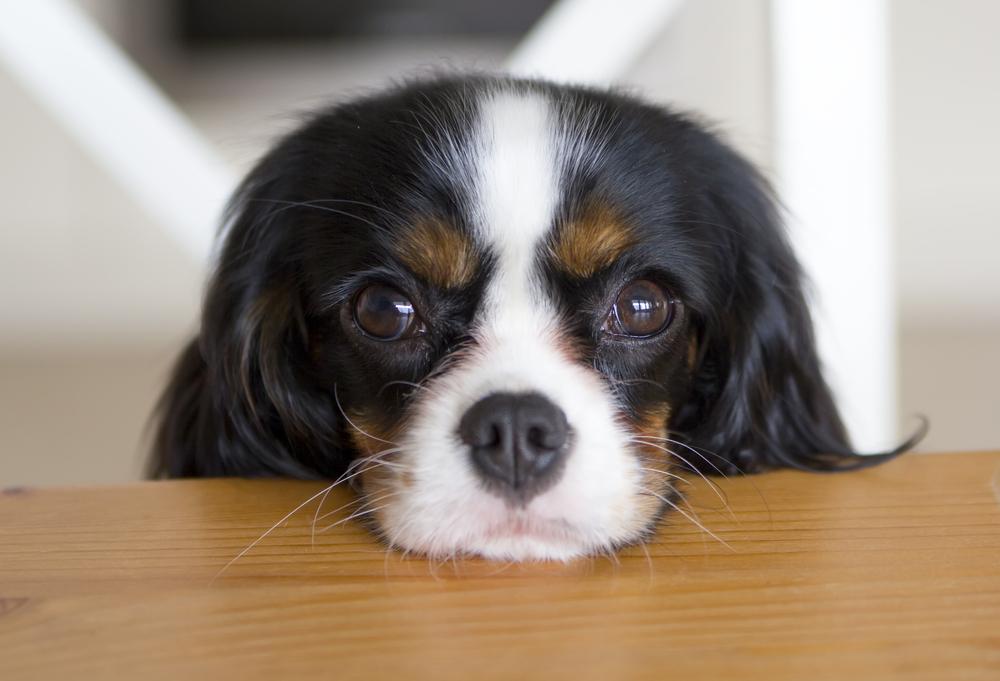 gazing-dog