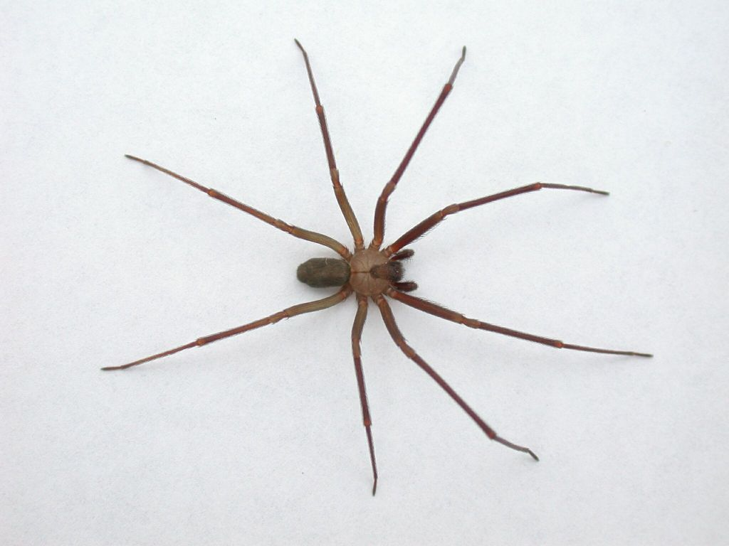 brown recluse spider 2