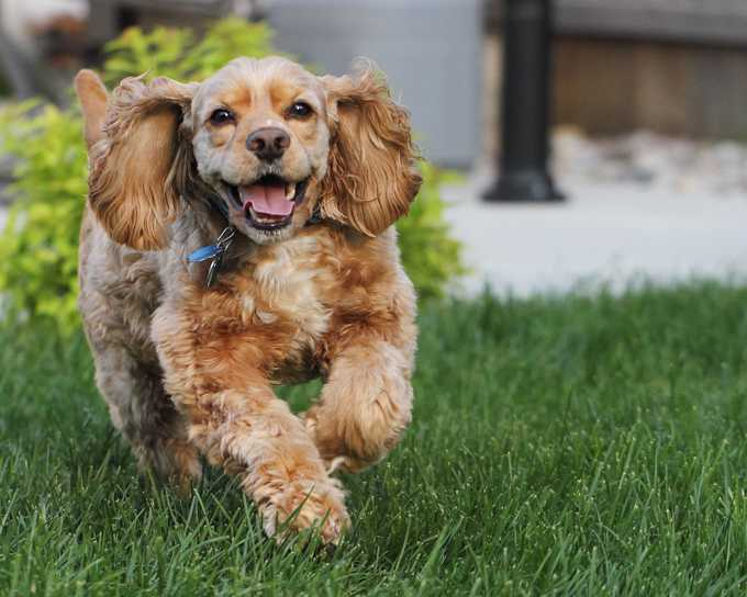 cocker spaniel smiling2