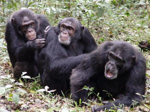 monkeys checking for ticks