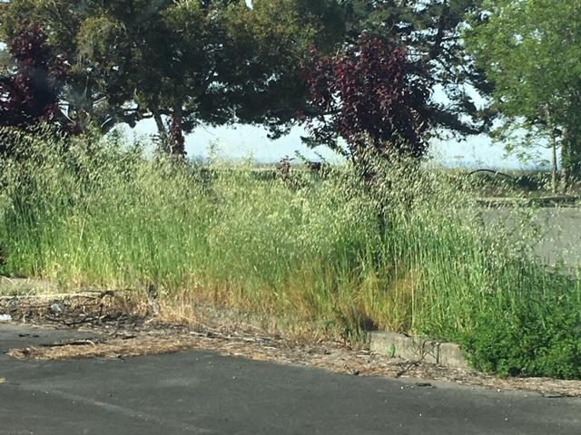 Mare Island foxtails