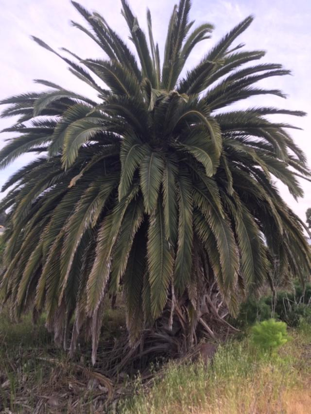 Mare Island palm tree