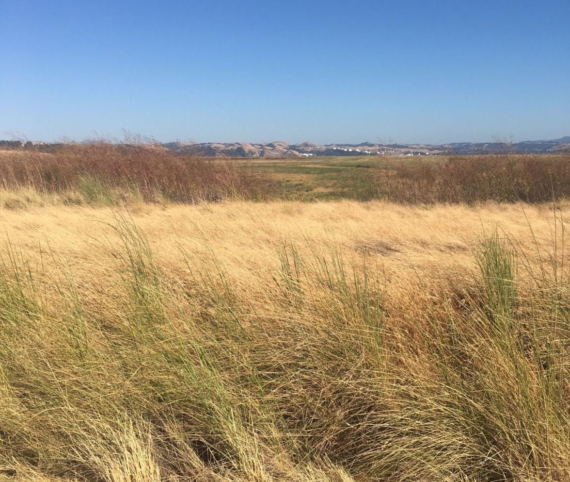 Mare island reeds 2