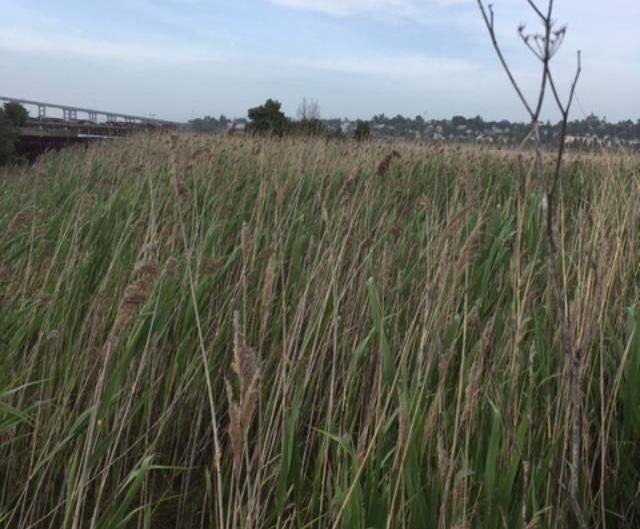 Mare Island reeds
