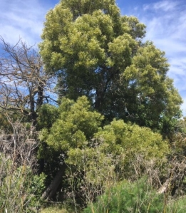 Mare Island tree