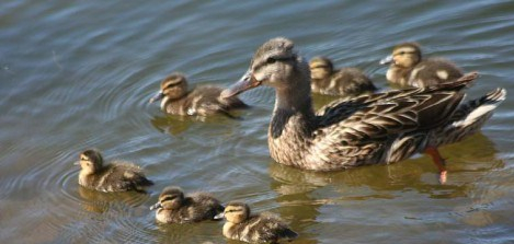 mom duck and ducklings