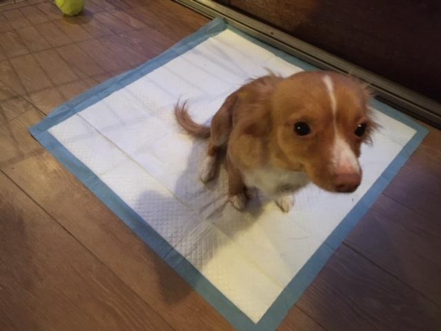 Taffy on pee pad